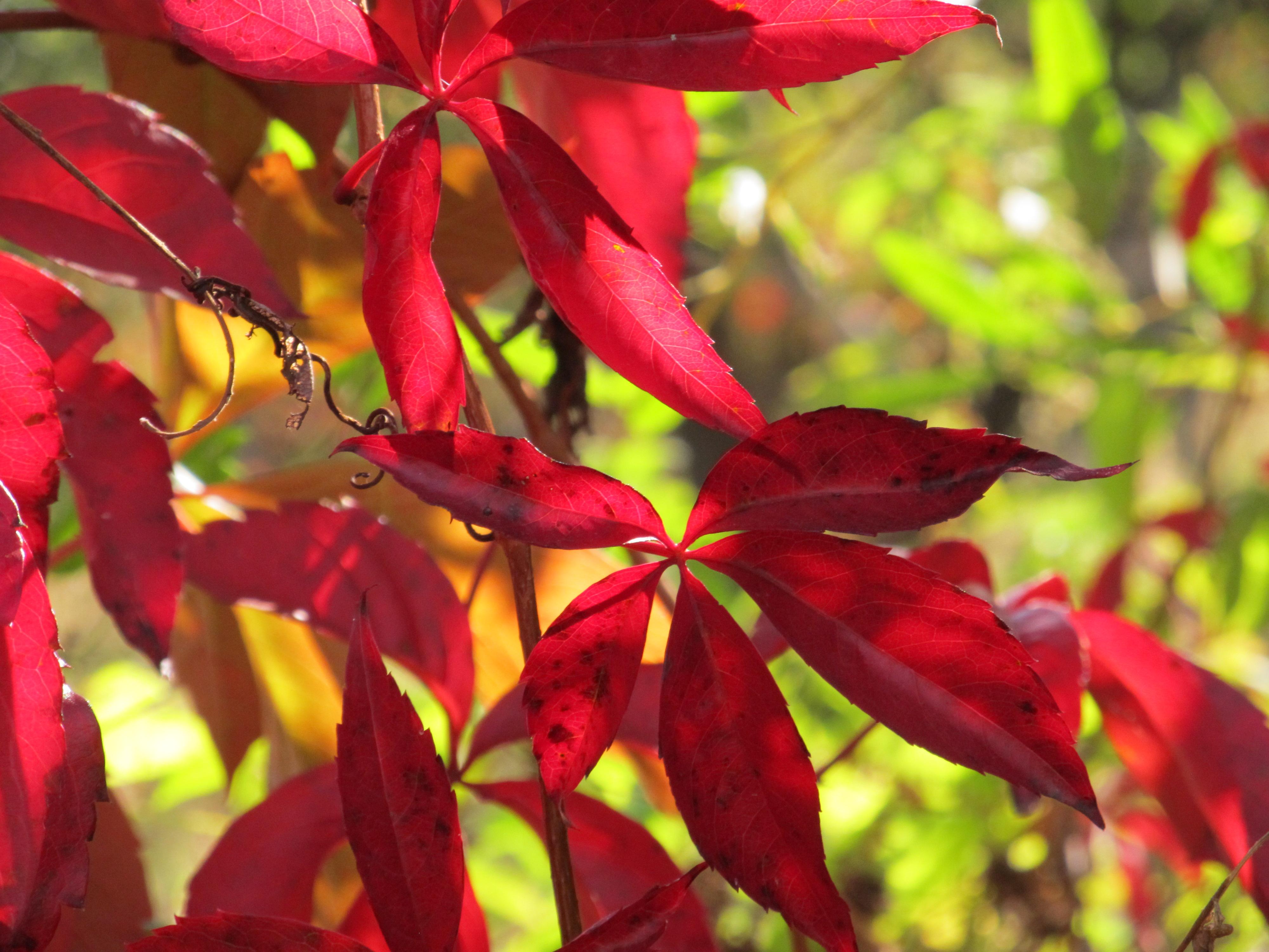 Ceai din frunze de VIŢĂ DE VIE – ajută la SLĂBIT şi contribuie la o sănătate deplină