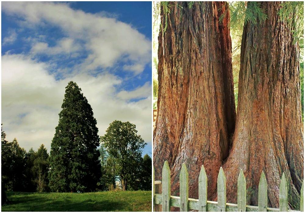 arborele de sequoia